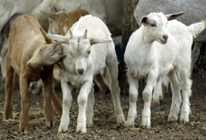 WPTS Column: Goats give listeners insight into pop music's formulaic nature