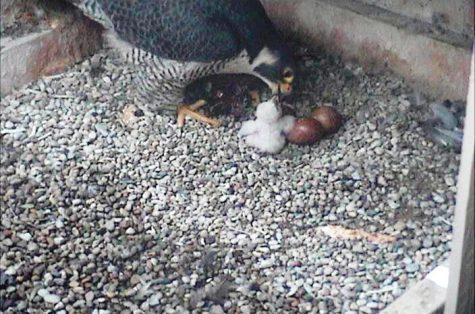 Dorothy does it again: Pitt's peregrine falcon hatches 43rd egg on Mother's Day