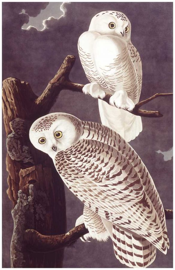 %22Snowy+Owl%22+from+John+James+Audubon%27s+collection+%22Birds+of+America%22++Photo+courtesy+of+Darlington+Digital+Library