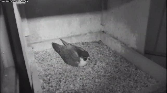 Hope%2C+the+Peregrine+Falco%2C+covers+her+eggs.+%28http%3A%2F%2Fwww.aviary.org%29