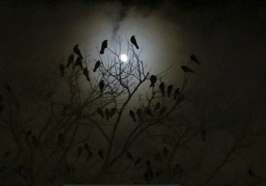 Crows+perch+in+the+trees+oustide+the+William+Pitt+Union.+Stephen+Caruso%7COnline+Visual+Editor
