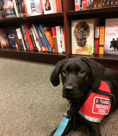 Teaching Aiden to aid: student trains service dog