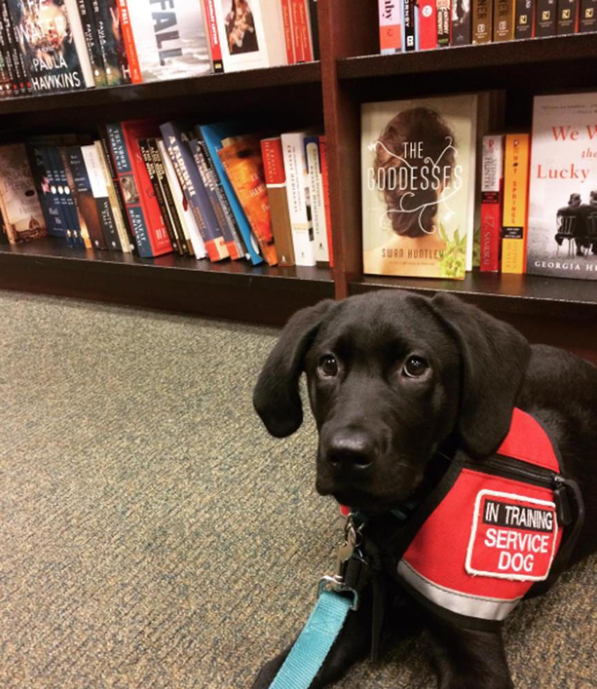 Aiden, an almost 4-month-old black lab, continues to work toward becoming a certified service dog. (Courtesy by Instagram account @Aiden_the_service_pup)