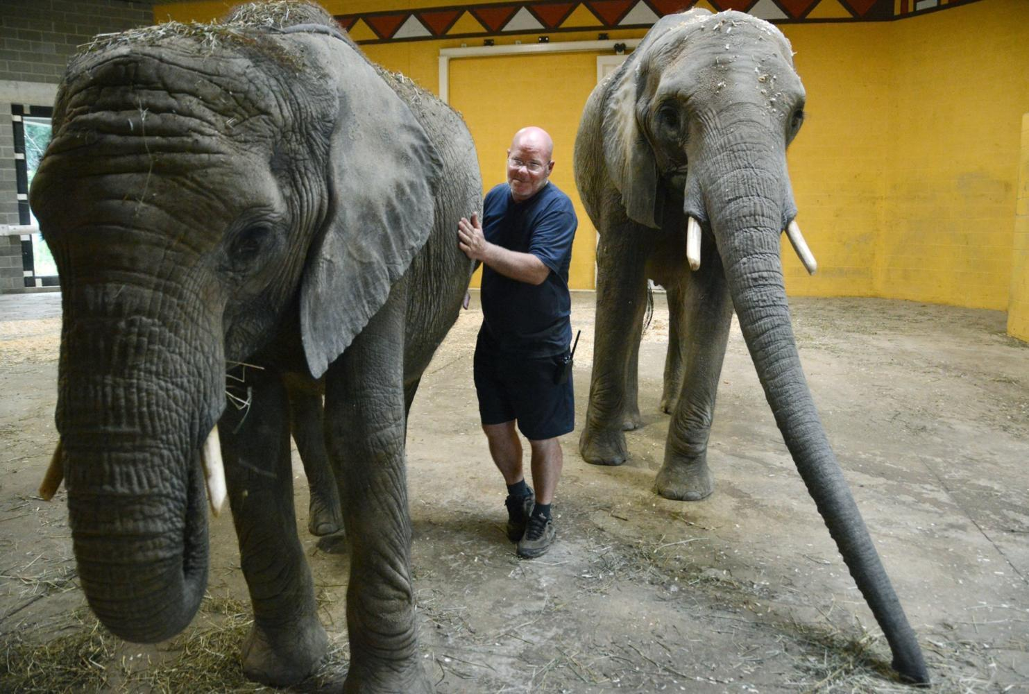 Willie Theison, elephant program manager at the Pittsburgh Zoo, stands between Zuri and her sister Victoria. (Nate Guidry/Pittsburgh Post-Gazette/MCT)