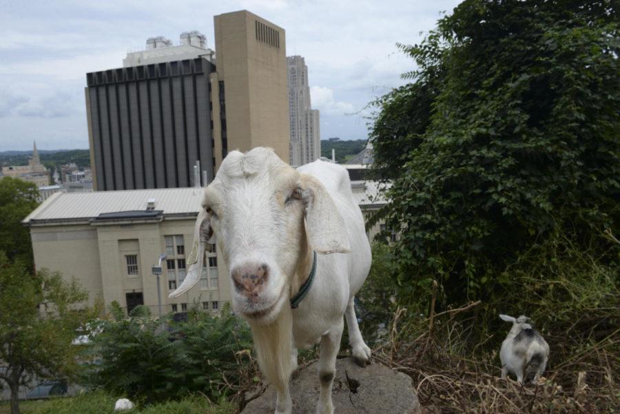 GALLERY: Goatscaping behind Chevron