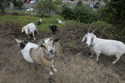 Campus 'Goatscapers' help the environment, look cute