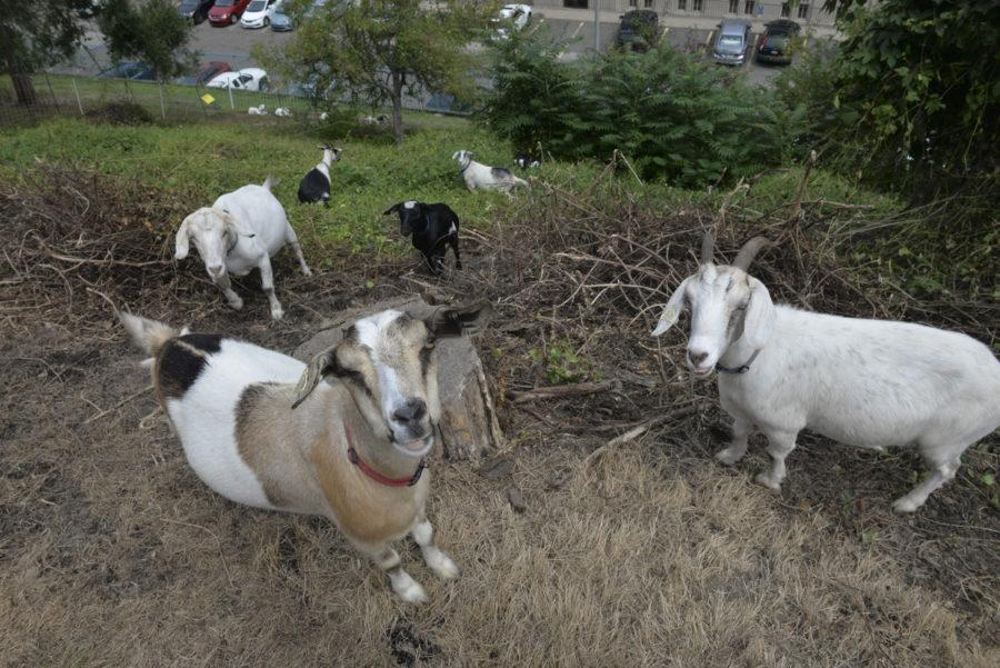 The+goats+frequently+take+breaks+from+eating+to+lie+down+and+watch+passersby.+%28Photo+by+Jon+Kunitsky+%7C+Staff+Photographer%29