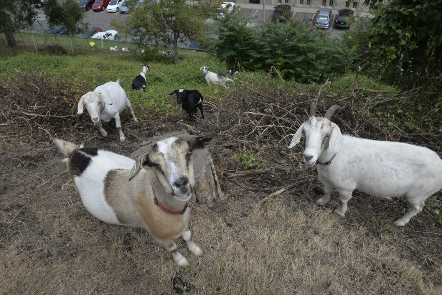 The goats frequently take breaks from eating to lie down and watch passersby. (Photo by Jon Kunitsky | Staff Photographer)