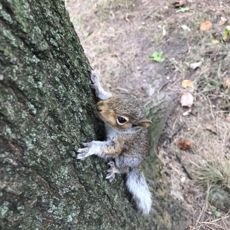 The Squirrels of Pitt Instagram, run by sophomore neuroscience major Vaishnavi Guddeti, features images of Oakland squirrels.