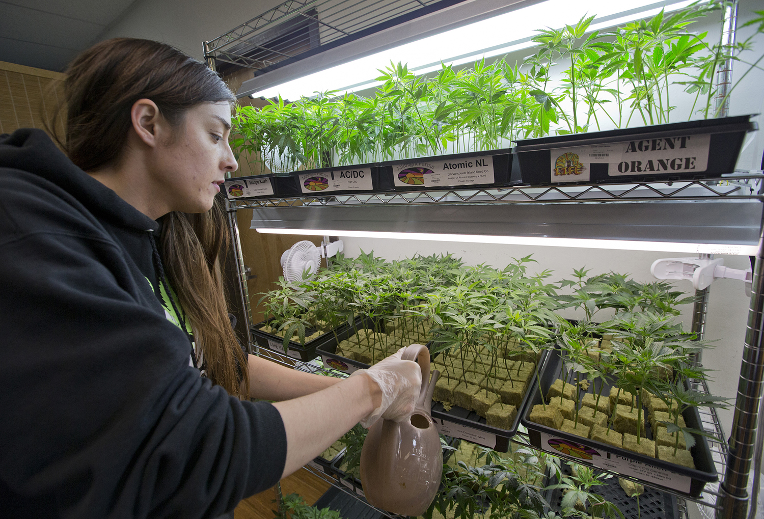 Elyse Jones waters marijuana clones at the Harborside Health Center medical marijuana dispensary on May 14, 2015, in San Jose, California. Medical marijuana has been legalized in 32 states thanks to pressures from criminal justice reform proponents, civil rights groups and drug policy reform advocates.