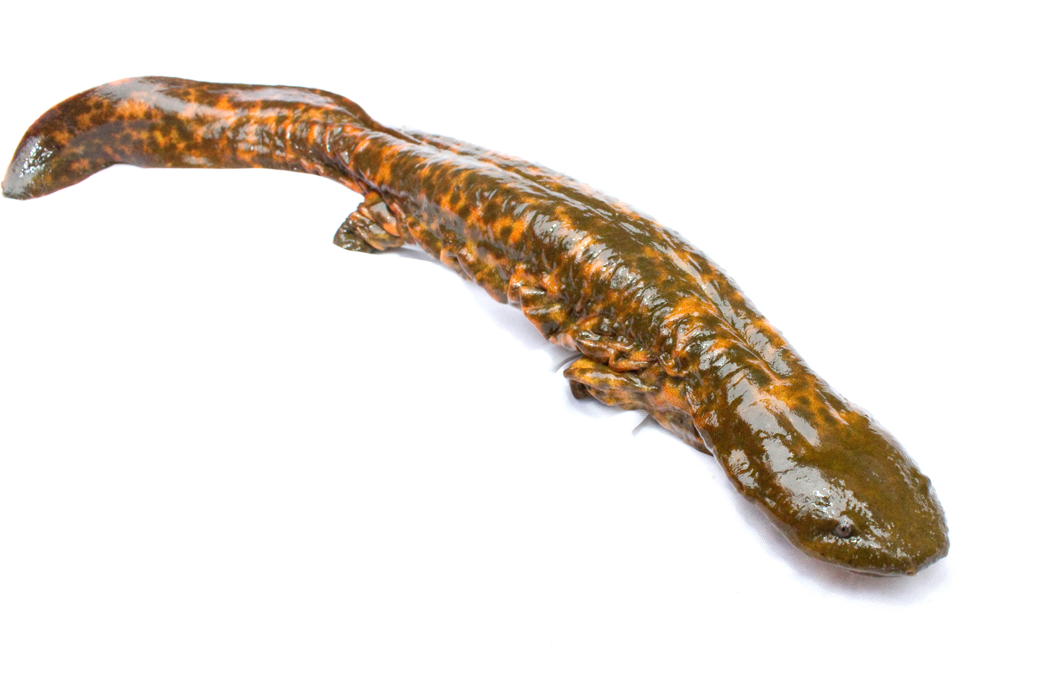 Cryptobranchus alleganiensis, the amphibian otherwise known as the hellbender.