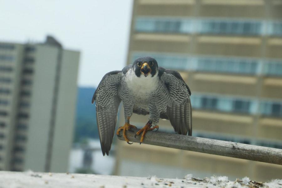 Summer work spotlight: 'capital' falcons
