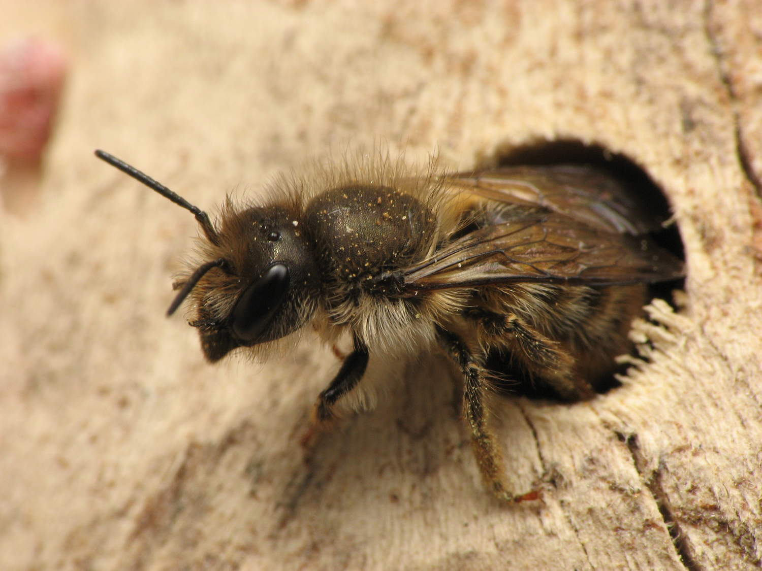 Solitary bee species have difficulty surviving in urban environments.