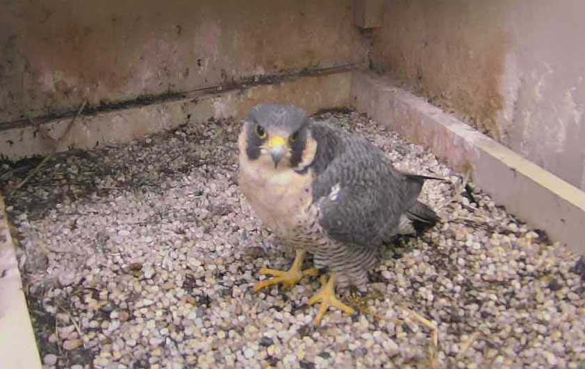 A new female peregrine falcon arrived at the Cathedral nesting site earlier this fall.