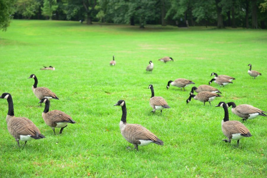 Geese and pigeons can be seen around campus and in Schenley park.