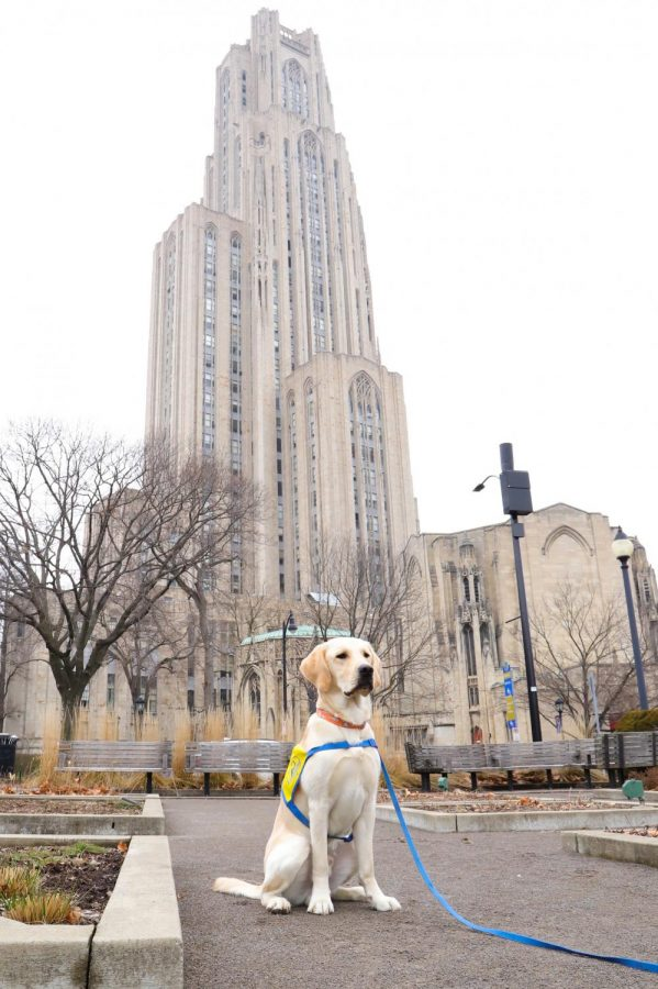 Kenzo (pictured) is being trained by senior psychology and history double major Lily Swanson to become a service dog.