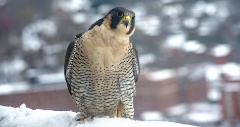 A multitude of peregrine falcons have called Pitt's Cathedral of Learning home since 2001 and they have been livestreamed since about 2007. Morela, distinguished by her peachy breast and face coloring, laid four eggs with Ecco, the first being born on St. Patrick's Day, and the last being born on March 24.