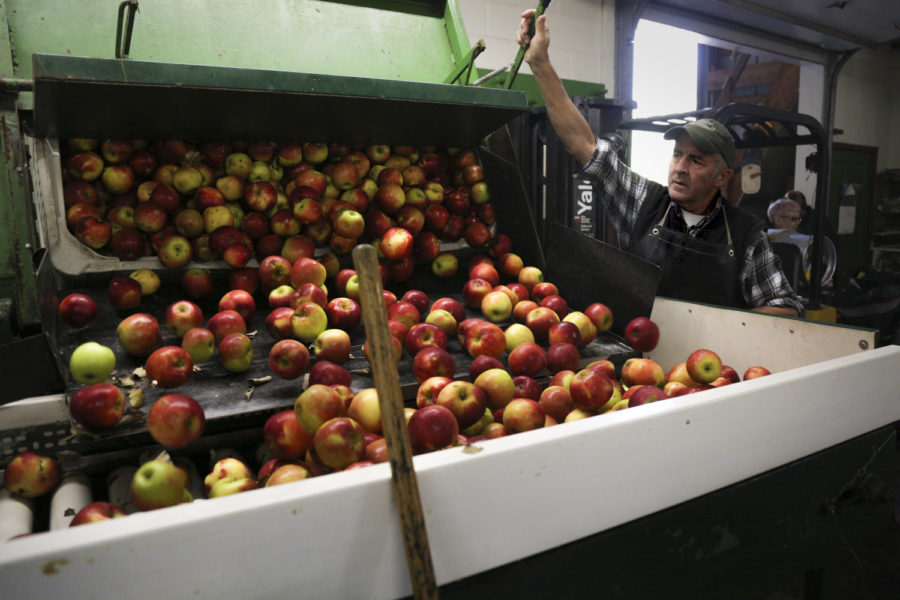 Apples are dumped into a hopper in the first step of the process that turns apples to cider at Soergel's Orchards.